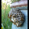 Wasps on Waterer
